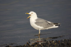Herring gull, Larus argentatus Stock Images
