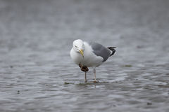 Herring gull, Larus argentatus Royalty Free Stock Images