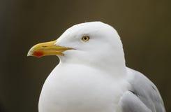 Herring gull, Larus argentatus Stock Image