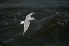 Herring gull, Larus argentatus Stock Photo