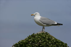 Herring gull, Larus argentatus Royalty Free Stock Photography