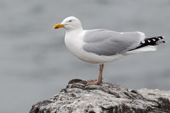 Herring gull, Larus argentatus. Single bird on rock, Northumberland, May 2014 Royalty Free Stock Photo