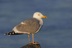Herring Gull (Larus argentatus smithsonianus). Adult in breeding plumage perched on rock with ocean as background Royalty Free Stock Photo