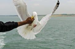 Herring gull (Larus argentatus) snaping fodder Stock Image