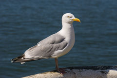 Herring Gull. (Larus argentatus) standing on railings in Whitby,England Royalty Free Stock Photos
