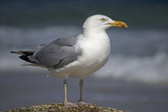 Herring Gull Stock Image