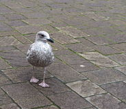 Herring Gull Or Larus Argentatus. Walking on plaza in Dingle Ireland Royalty Free Stock Photo