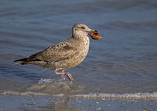 Herring Gull (Larus argentatus) Stock Images