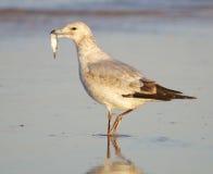 Herring Gull, Larus delawarensis argentatus Royalty Free Stock Image