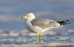 Herring Gull, Larus delawarensis argentatus Royalty Free Stock Photos