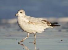 Herring Gull, Larus delawarensis argentatus Stock Image
