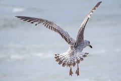 Herring gull, Larus fuscus L. Royalty Free Stock Photos