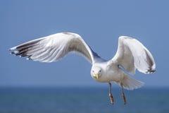 Herring gull, Larus fuscus L. flying Stock Images