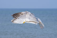 Herring gull, Larus fuscus L. flying Stock Photography