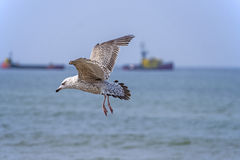 Herring gull, Larus fuscus L. flying Royalty Free Stock Photography