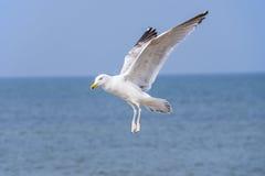 Herring gull, Larus fuscus L. flying Royalty Free Stock Image