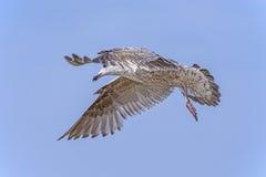 Herring gull, Larus fuscus L. flying Stock Photo