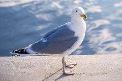 Herring gull, Larus fuscus L. Stock Images