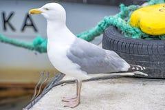 Herring gull, Larus fuscus L. Royalty Free Stock Photography