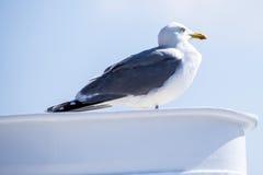 Herring gull, Larus fuscus L. Royalty Free Stock Image