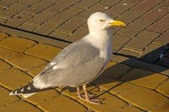 Herring gull, Larus fuscus L. Stock Image