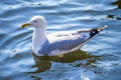 Herring gull, Larus fuscus L. Royalty Free Stock Photo