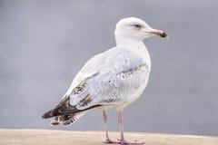 Herring gull, Larus fuscus L. young bird Stock Photos
