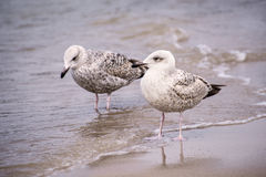 Herring gull, Larus fuscus L. young birds Stock Photography