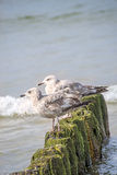 Herring gull, Larus fuscus L. young birds Stock Image