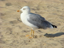 Herring Gull (lat. Larus argentatus) - a large bird Royalty Free Stock Photography