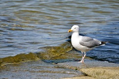 Herring gull near of water Stock Images