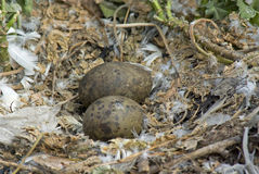 Herring Gull Nest with Eggs Royalty Free Stock Photography