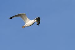 Herring gull over blue sky Royalty Free Stock Photo