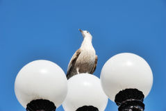 Herring Gull Perched On Lamppost Stock Image