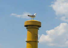 Herring gull perched on ships funnel Stock Photos