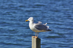 Herring gull perched on a wooden mooring post Stock Photography