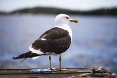 Herring gull on a pier stock image