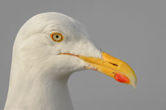 Herring Gull Portrait Royalty Free Stock Photography