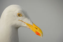 Herring Gull Portrait Royalty Free Stock Photo