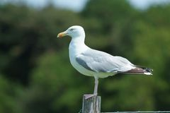 Herring Gull on a post Royalty Free Stock Photos