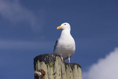 Herring Gull on post. Stock Photos