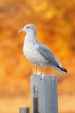 Herring Gull on a Post with Autumn Foliage in Background Royalty Free Stock Photography
