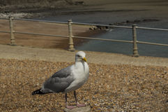 Herring Gull on a Post Royalty Free Stock Photo