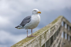Herring gull on rail. An adult Herring Gull perched on a railing at Westhaven Cove in Westport, Washington Royalty Free Stock Image