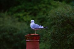Herring Gull resting on a post stock photo