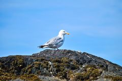 Herring Gull on Rock royalty free stock photography