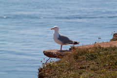 Herring gull on rock ledge Royalty Free Stock Image