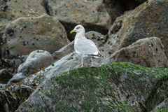 Herring gull. Sat on the rocks in st ives cornwall waiting for the tide royalty free stock image