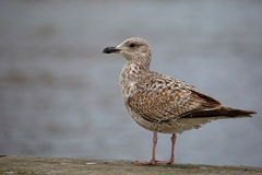 Herring Gull by the sea Royalty Free Stock Images