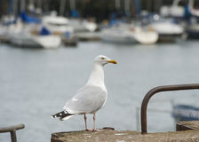 Herring gull seabird on harbour wall Stock Photo